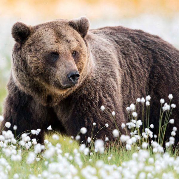 Ville Heikkisen kuvaama karhu, juliste Sanninco
